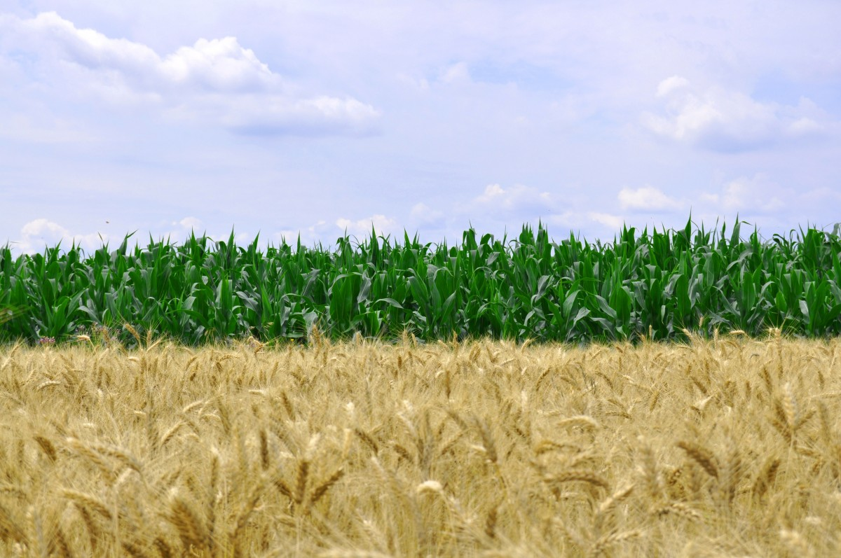 Banner image displaying corn field